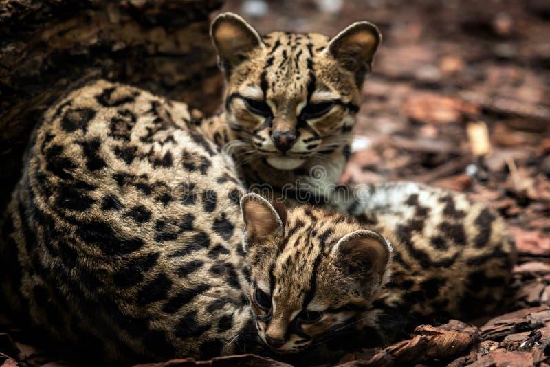 Margay, Leopardus wiedii,女性与婴孩 库存图片