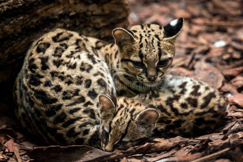 Margay den Leopardus wiediien, kvinnlig med behandla som ett barn royaltyfria bilder