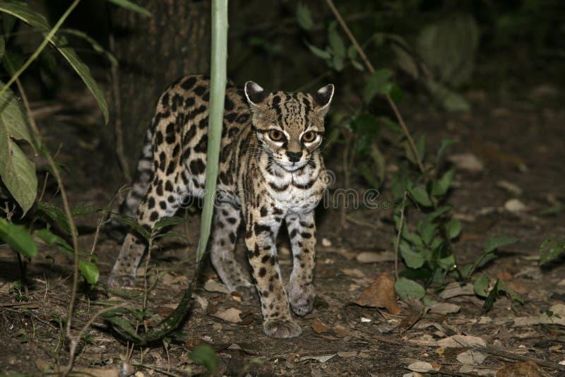 Margay eller tigerkatt eller liten tiger, Leopardus wiedii arkivfoto