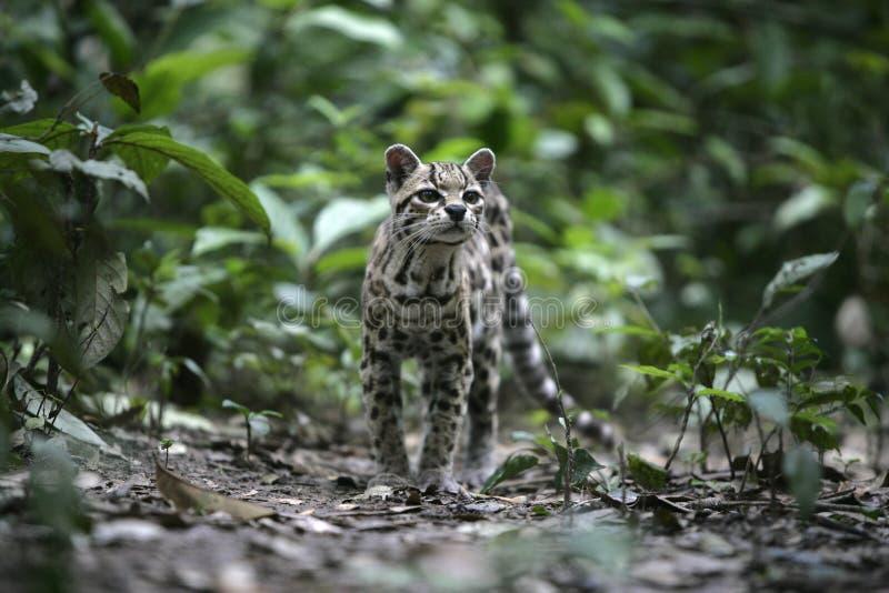 Margay eller tigerkatt eller liten tiger, Leopardus wiedii fotografering för bildbyråer