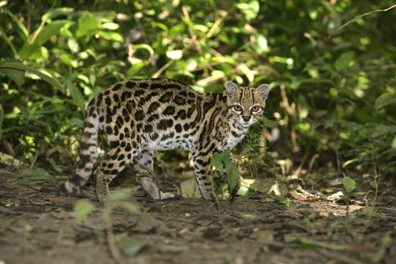 Margay eller tigerkatt eller liten tiger, Leopardus wiedii arkivbilder