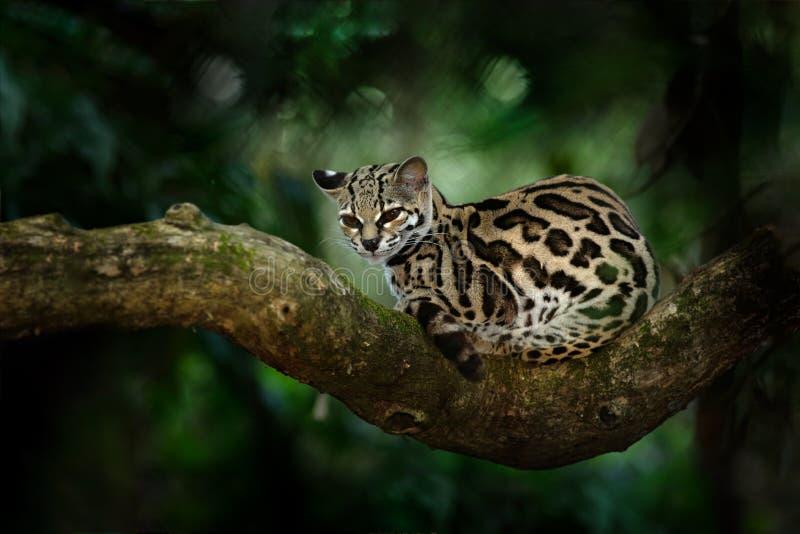 Margay Leopardis wiedii, härligt kattsammanträde på filialen i den tropiska skogen, Central America Djurlivplats från vändkretsen arkivfoton