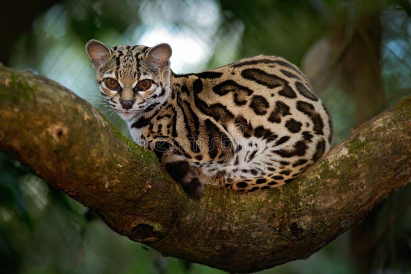 Margay, Leopardis-wiedii, schöne Pardelkatzekatze, die auf der Niederlassung im costarican tropischen Wald sitiing ist stockbild