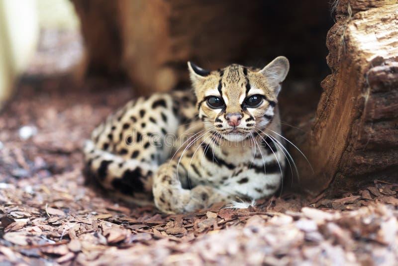 Margay, Leopardus-wiedii, een zeldzame Zuidamerikaanse kat stock afbeelding