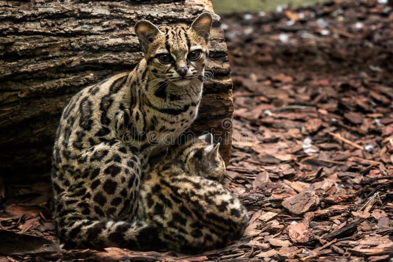 Margay, Leopardus-wiedii, wijfje met baby royalty-vrije stock afbeeldingen