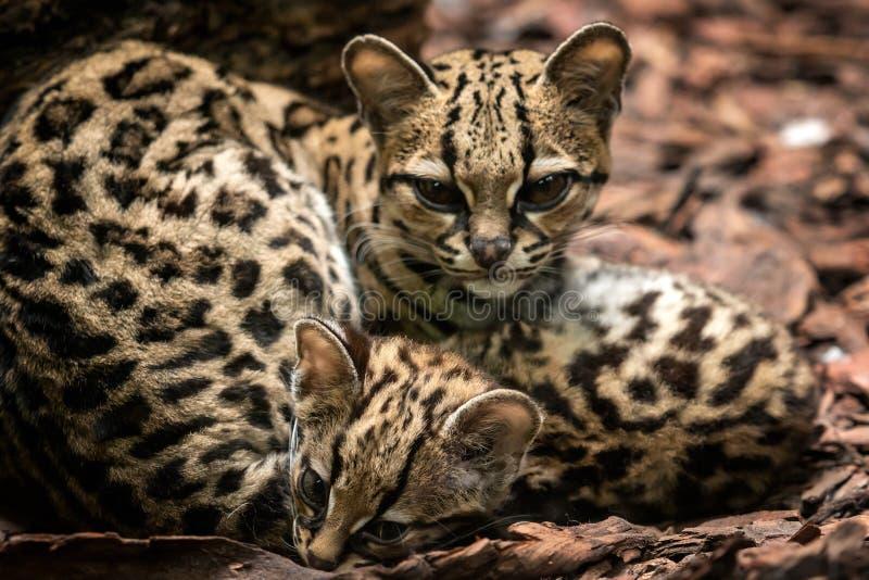 Margay, Leopardus-wiedii, wijfje met baby stock foto's