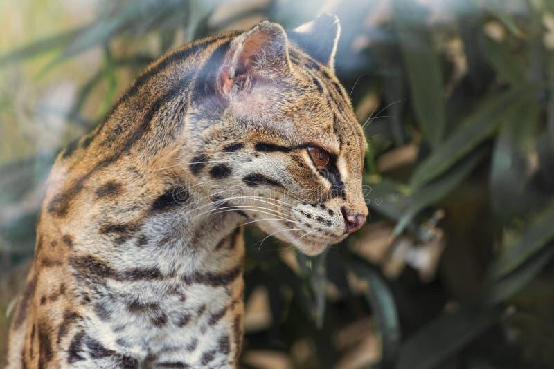 Margay Leopardus wiediinicarague är en liten lös kattinföding i primär evergreen och lövskog av centralt och söder fotografering för bildbyråer