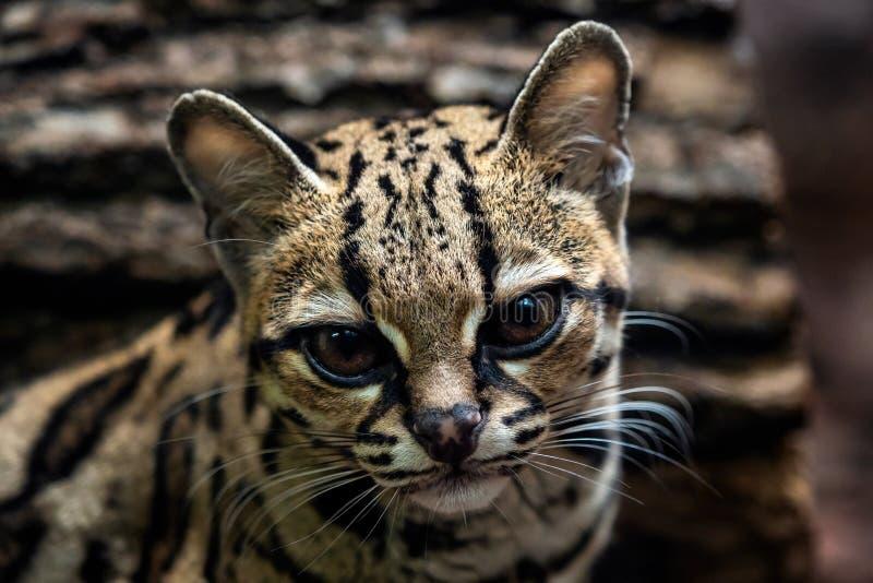 Margay, wiedii de Leopardis imagens de stock royalty free