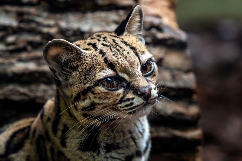 Margay, wiedii de Leopardis foto de stock royalty free