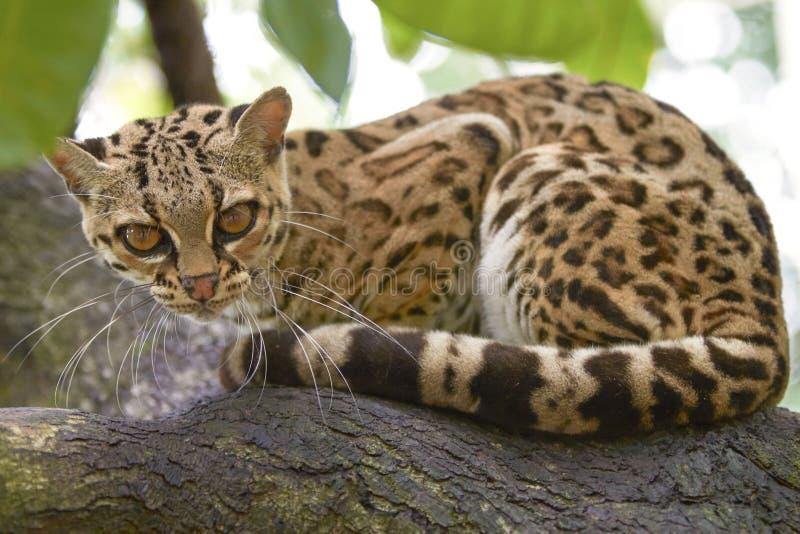 Margayzitting op de tak in het tropische bos stock afbeelding