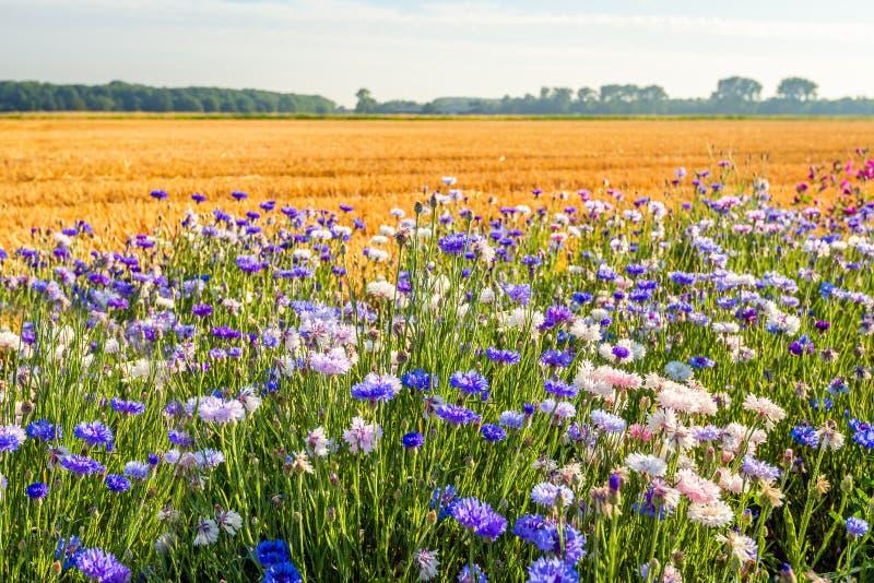 Marge colorée de champ au bord d'un gisement de chaume photos libres de droits