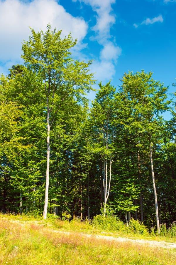 Marge de la forêt de hêtre images libres de droits