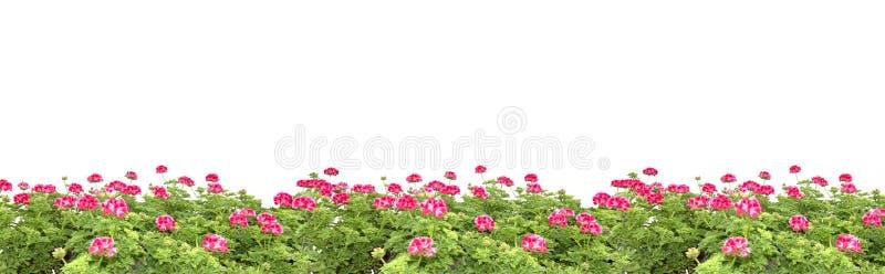 Marge rose de fleurs de géranium image libre de droits
