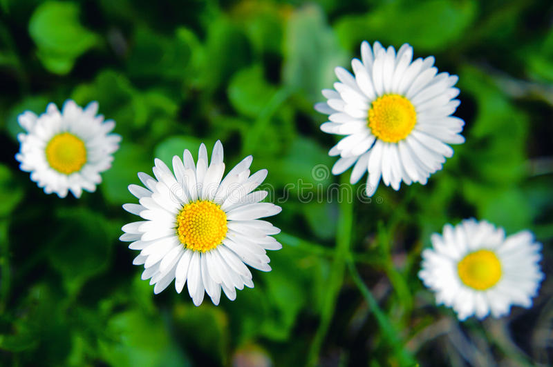 Download Margherita fotografia stock. Immagine di verde, flora - 30825930