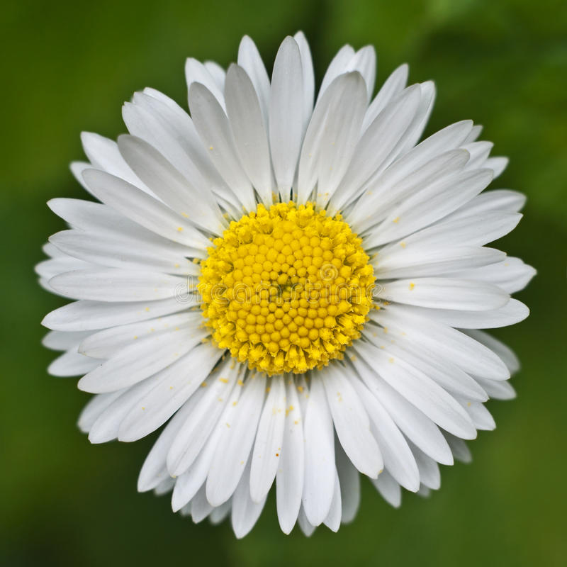 Download Margherita immagine stock. Immagine di petali, pianta - 56891605