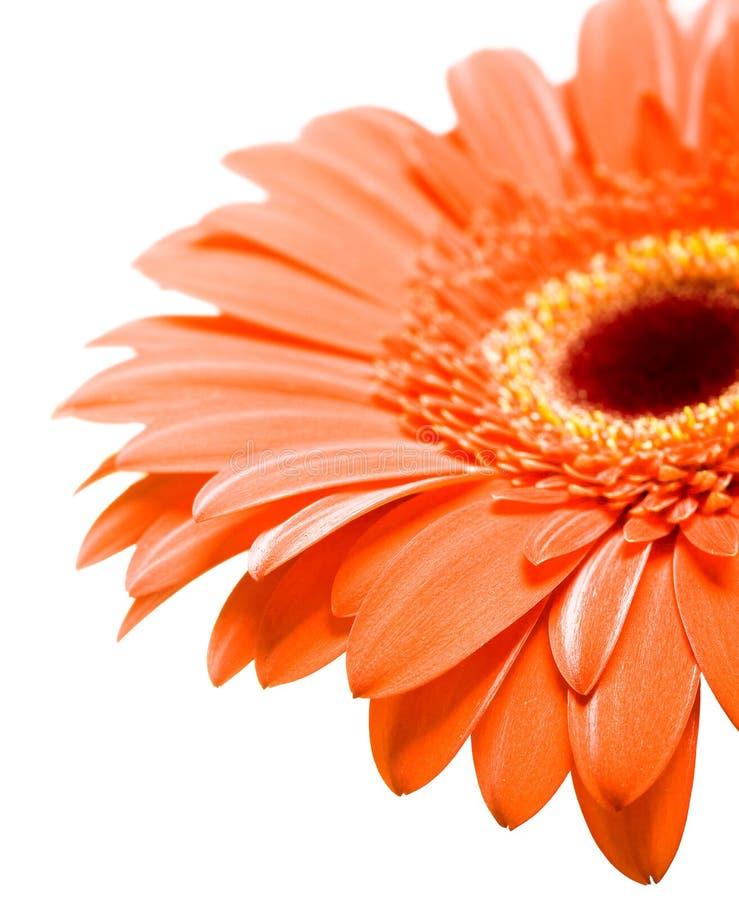 Download Margherita fotografia stock. Immagine di fiore, petalo - 7302282