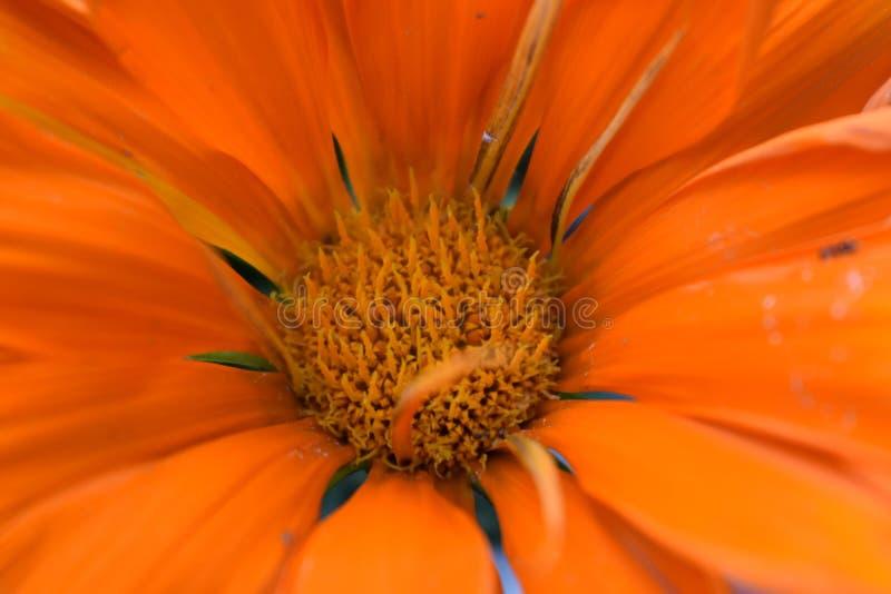 Margherita arancio dettaglio Daisy Background fotografia stock