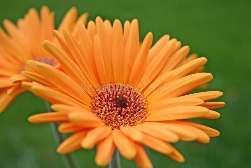 Margherita arancione di Gerber fotografia stock libera da diritti