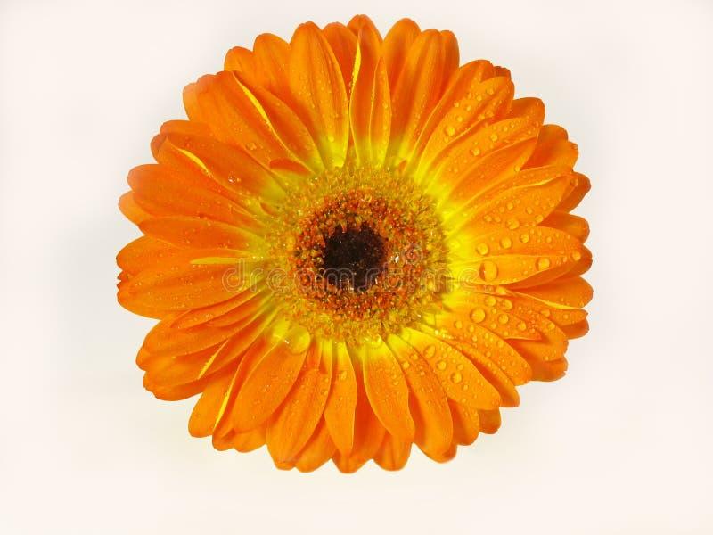 Margherita arancione di Gerber fotografia stock