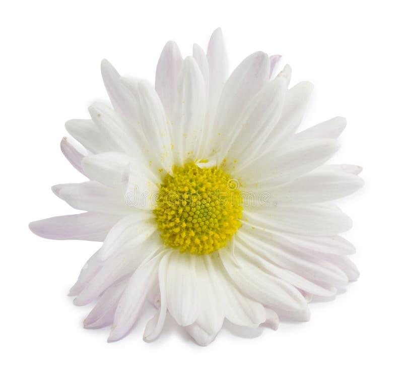 Margherita bianca immagine stock