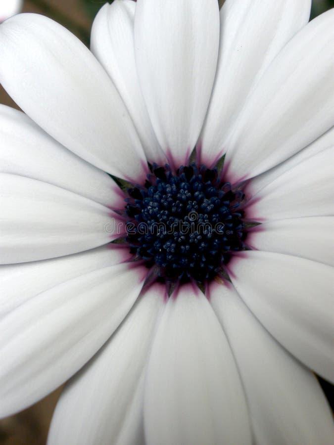 Margherita bianca con l'ornamento porpora II immagine stock