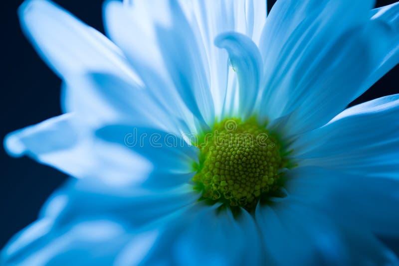 Margherita bianca con la colata del blu della notte immagini stock
