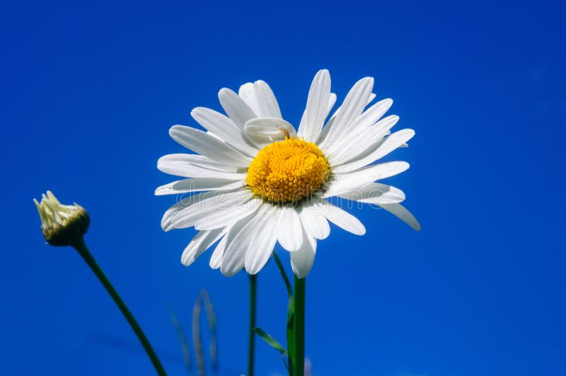 Margherita bianca contro cielo blu, profondità di campo bassa fotografia stock