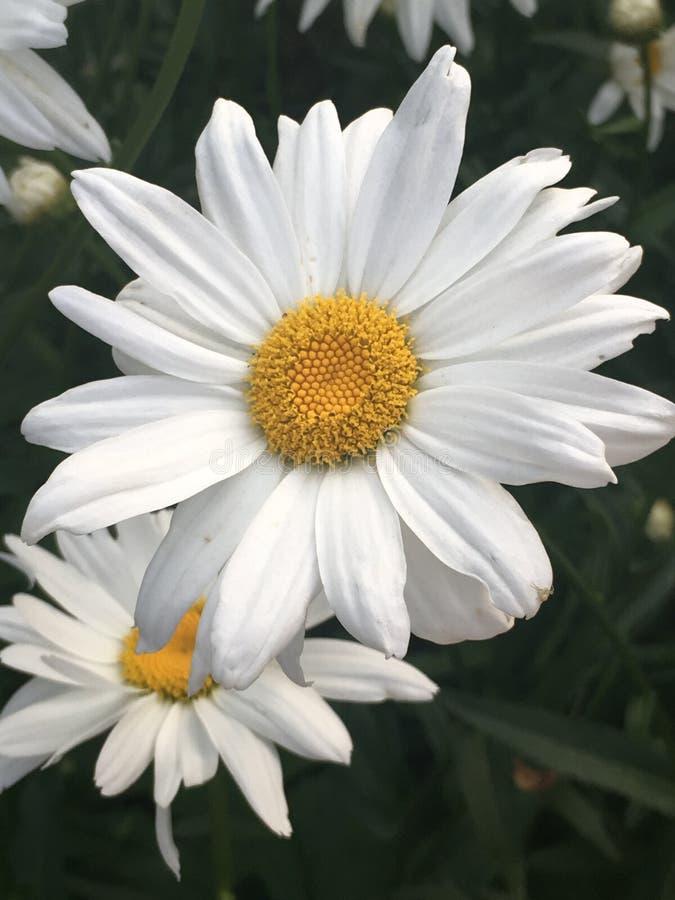 Margherita bianca del bello fiore di estate nel giardino nell'ambito dei raggi del sole immagini stock