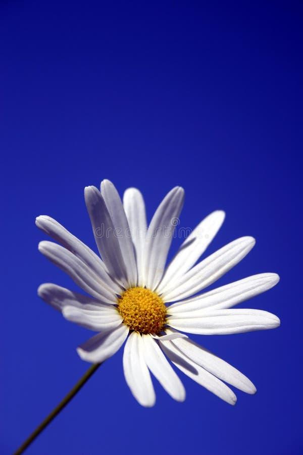 Margherita bianca e cielo blu fotografia stock libera da diritti