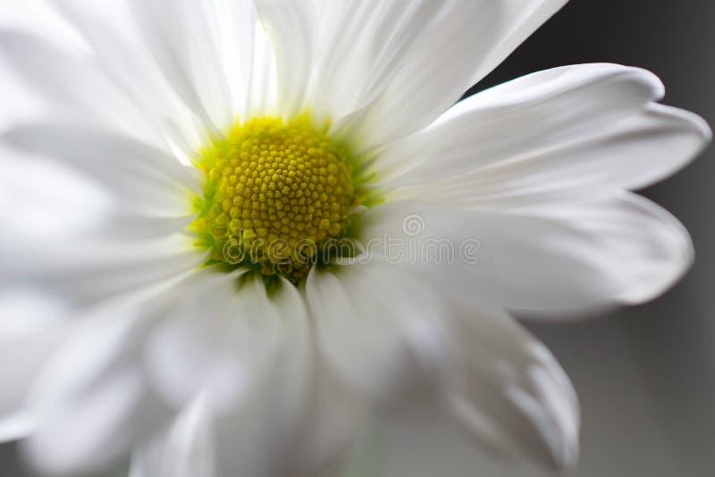 Margherita bianca molle contro fondo grigio fotografia stock