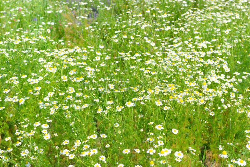 Margherita bianca nel prato di primavera immagini stock libere da diritti