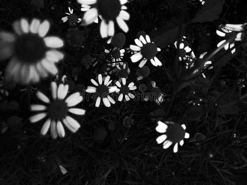 Margherita in bianco e nero Foglie nere dell'erba nel campo I fiori in bianco e nero contrappongono le margherite scure dei fiori immagini stock