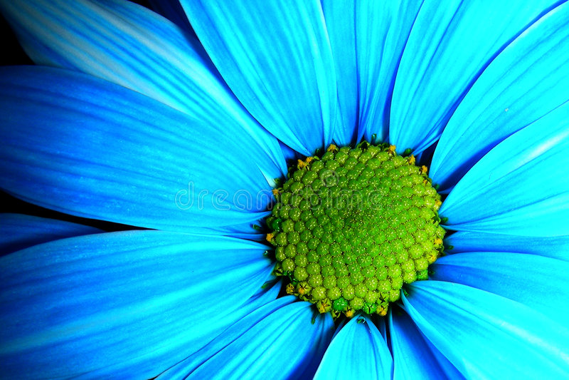 Margherita blu fotografia stock libera da diritti