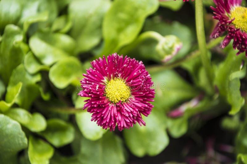 Margherita comune o perennis di fioritura completamente aperti del Bellis o margherita inglese o margherita del prato o pianta pe fotografia stock libera da diritti