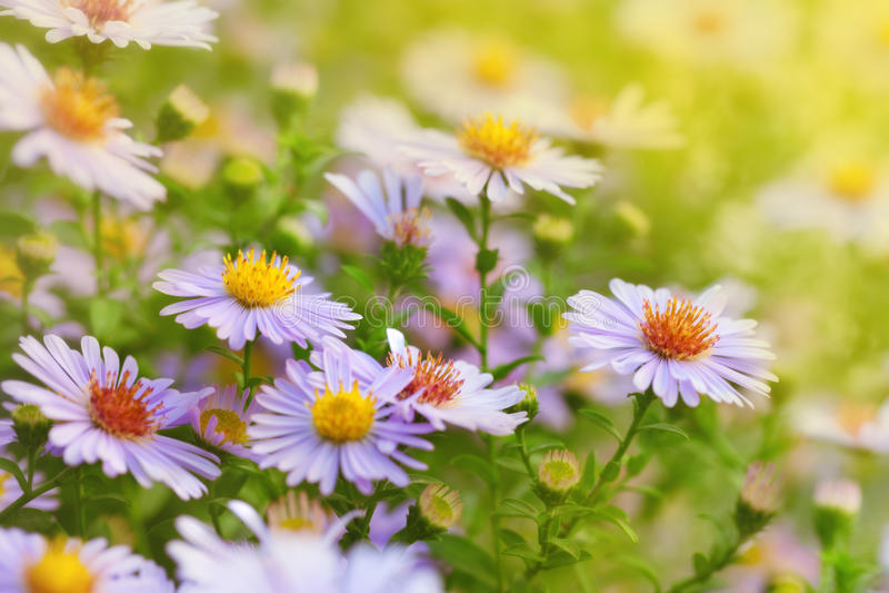 Margherita di Michaelmas dei fiori immagine stock