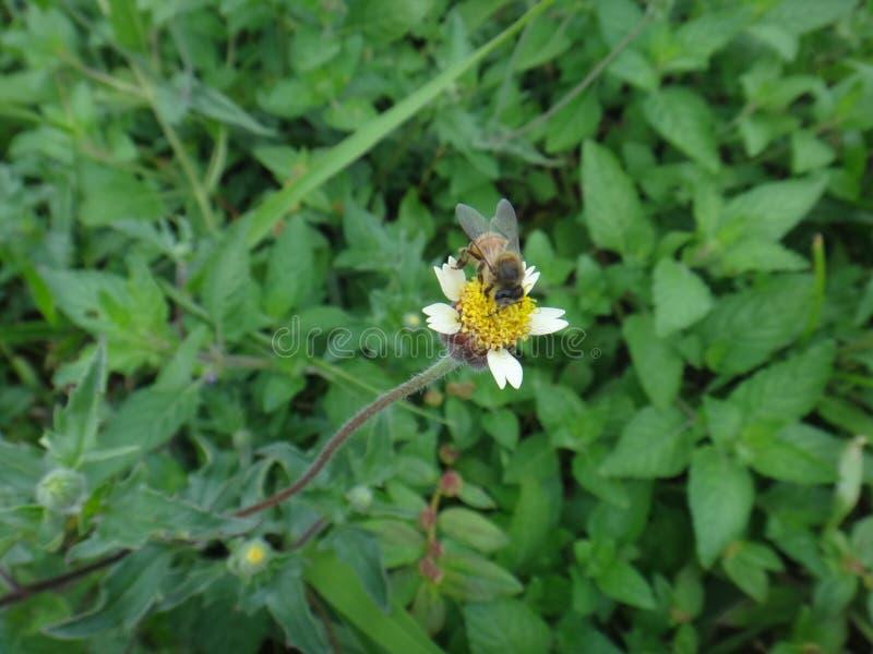 Margherita e ape di Tridax immagine stock