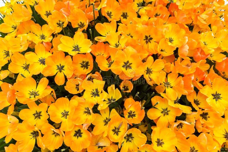 Margherita, fiore della camomilla Bella Daisy Background fotografia stock