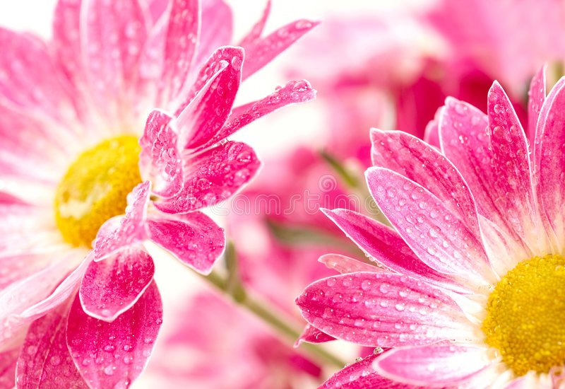 Margherita gerbera immagine stock immagine di colori - Immagine di lucertola a colori ...