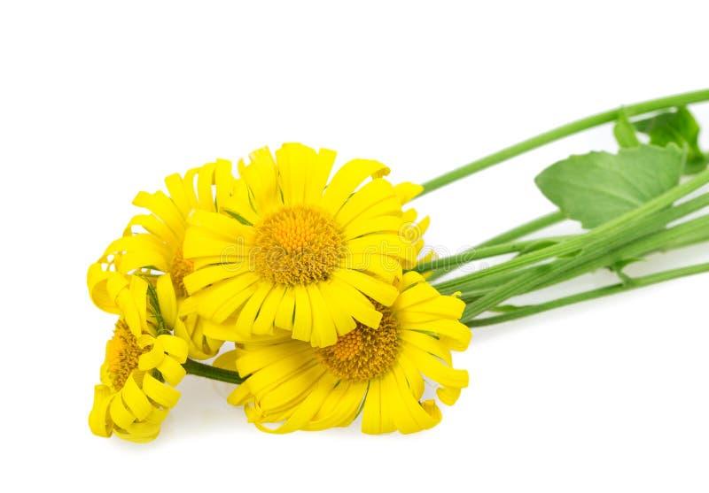 Margherita gialla immagine stock