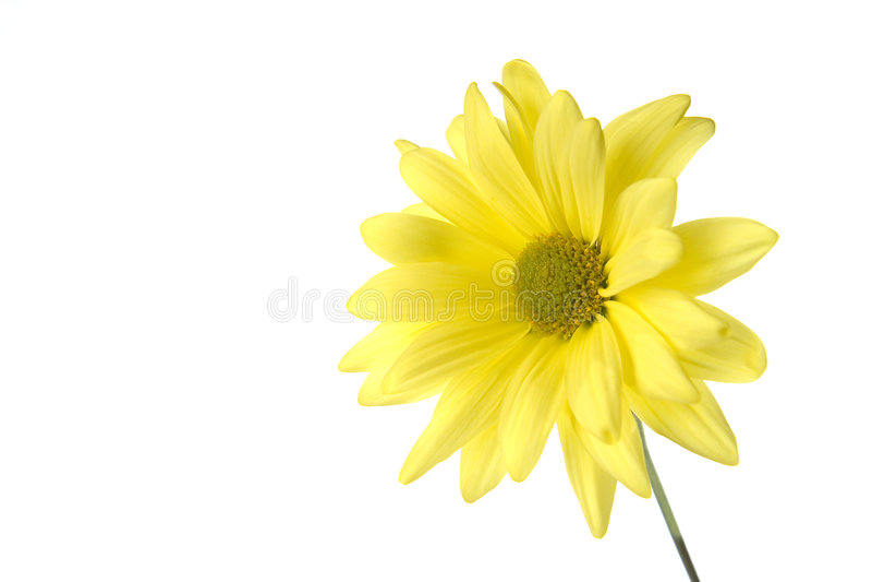 Margherita gialla fotografie stock libere da diritti