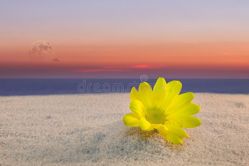 Margherita gialla e tramonto fotografia stock libera da diritti