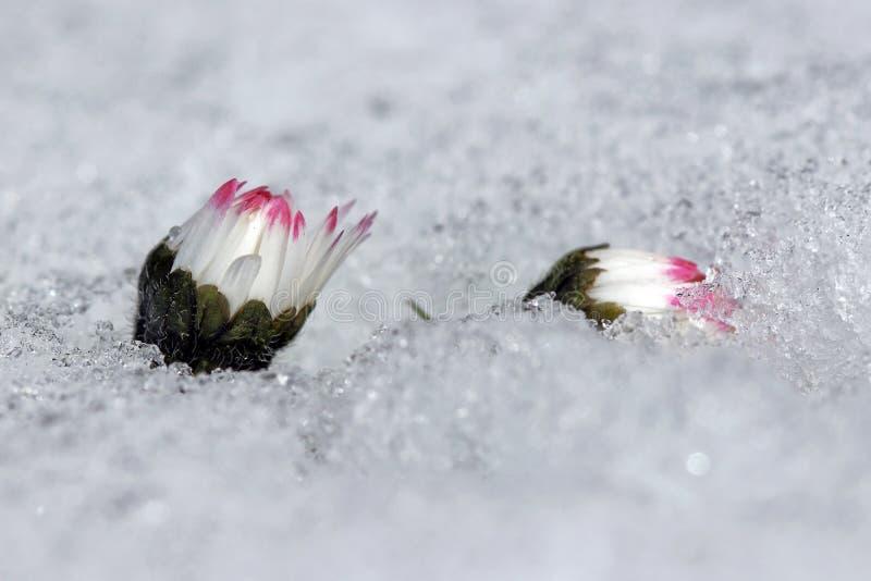 Margherita nella neve immagini stock