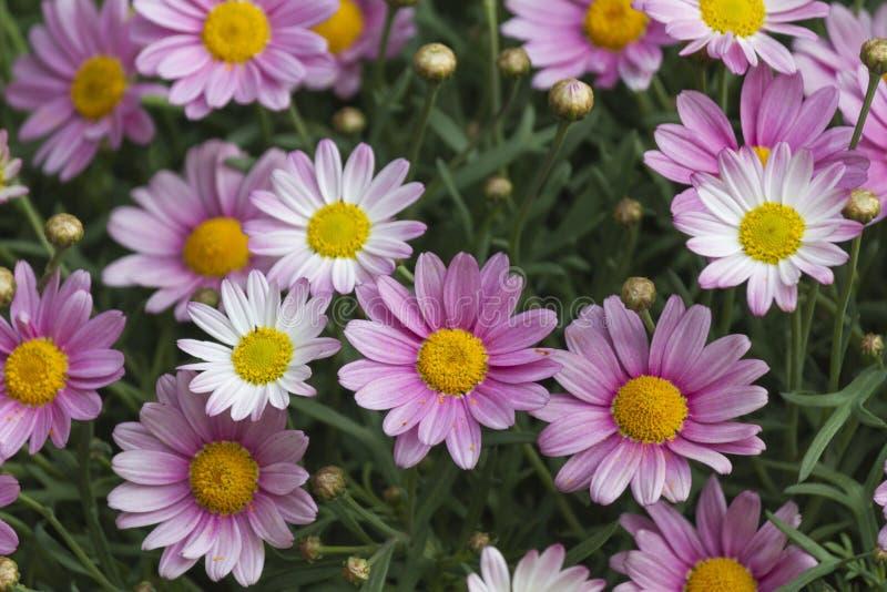 margherita rosa illustrazione di stock immagine 40451479