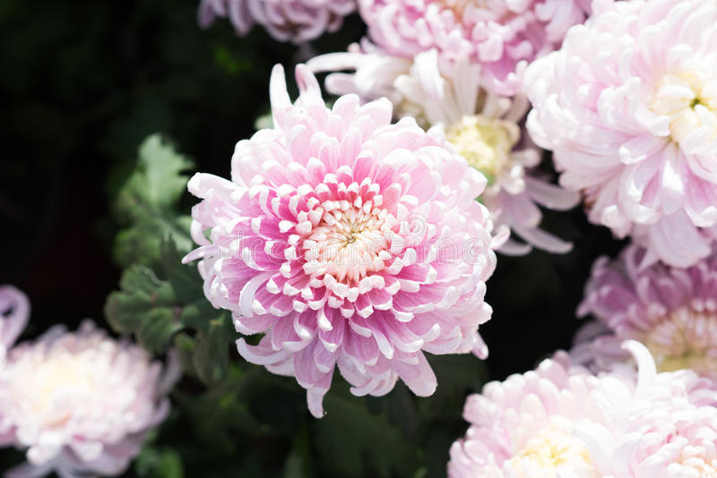 Margherita rosa fotografia stock