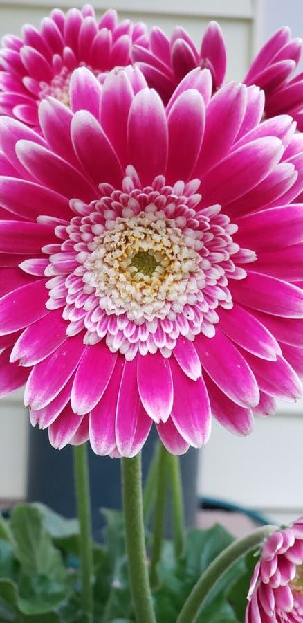 Margherita rosa immagini stock libere da diritti