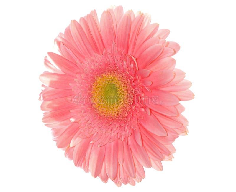 Margherita rosa-chiaro immagine stock