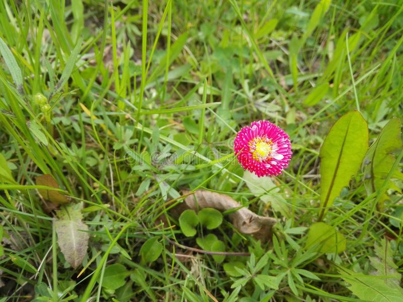 Margherita rosa fra erba fotografie stock libere da diritti