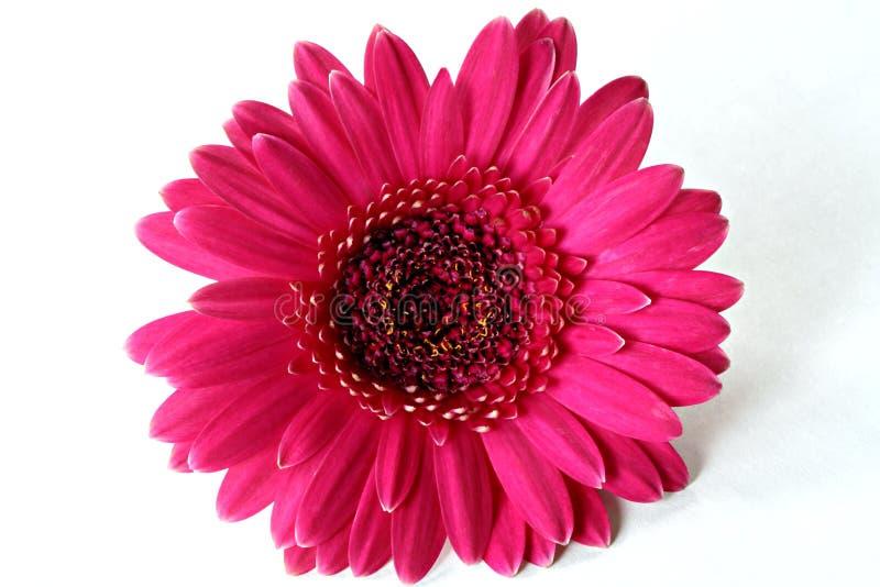 Margherita scura del Gerbera di colore rosa caldo fotografia stock