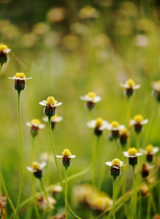 Download Margherita selvatica immagine stock. Immagine di fiori - 55355377