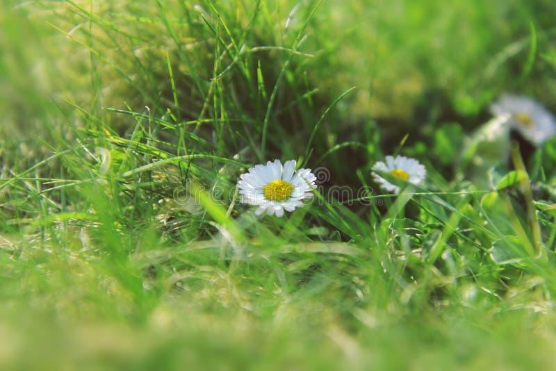 Margherita soleggiata in un'erba verde immagine stock libera da diritti